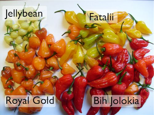 An assortment of chili pods: Jellybean, Fatalii, Bih Jolokia, Royal Gold.
